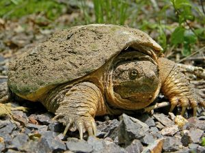 1024px-Common_Snapping_Turtle_Close_Up