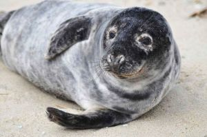 1024px-Grey_seal_animal_halichoerus_grypus